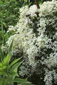 Plant Clematis  Blooms With White Flowers