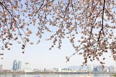 Cherry trees of full bloom at Han riverside, Seoul, South Korea.