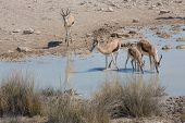 Springboks at waterhole