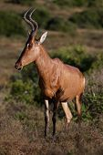 picture of antelope horn  - Graceful looking Red Hartebeest Antelope with curved horns - JPG