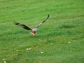 Red Kite Talons Extended