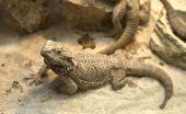 Aagamid  Lizard Crawling On Sand