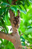 Honeybee Swarm Hanging On A Branch