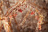Barberry branches covered with ice