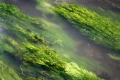 River Weed