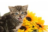 foto of yellow tabby  - Cute baby tabby kitten with yellow flowers on white background - JPG