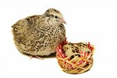 Adult quail with its eggs on white