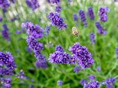 Bee pollinating bed of lavender flowers