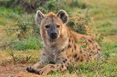 image of hyenas  - Spotted Hyena lying down and looking very intense