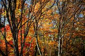 Autumn maple trees with colorful fall foliage and picturesque branches in Algonquin Provincial Park,