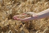Agriculture, Wheat Crop