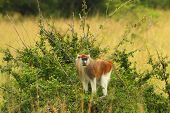 Patas Monkey Looking From Raised Bush
