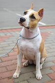 foto of american staffordshire terrier  - Domestic dog American Staffordshire terrier breed on leash - JPG