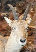foto of cuckold  - beautiful young specimen of IBEX in the rocks of the Alps - JPG