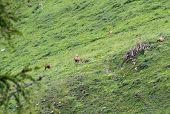 Group Of Chamois Grazing The Grass Alpine Pasture