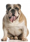 english bulldog sitting looking at viewer on white background