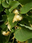 linden tree with yellow flowers