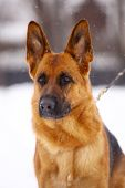 picture of seeing eye dog  - German Shepherd dog, standing in the snow