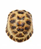 pic of russian tortoise  - Russian or Central Asian tortoise - JPG