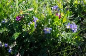 Beach Peas  And Wild Geranium