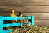 Little cute duckling in barn