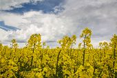 stock photo of rape  - Rape flowering time of the beginning of the summer fields of Lithuania - JPG