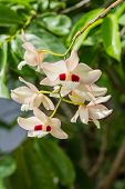 Dendrobium Pulchellum, ,orchid Flower In Bloom.
