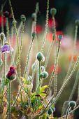 foto of opium  - Opium poppy flower angkhang mountain chaing mai Thailand - JPG