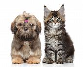 stock photo of coon dog  - Shitzu puppy and Maine Coon kitten on white background - JPG