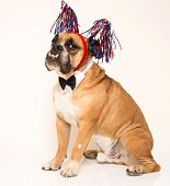Bulldog dressed for 4th of July