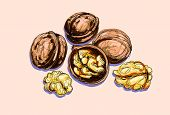 vector drawing of a walnuts