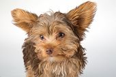 Yorkshire Terrier Puppy Standing In Studio Looking Inquisitive White Background