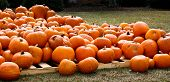 pumpkins a plenty