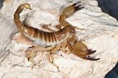 Yellow Scorpion On Stone
