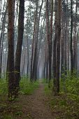 Path In A Pine Forest Through The Fog