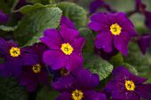 Several Purple Primrose Flowers Among Green Leaves