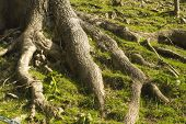 Tree Roots On Grassy Bank.