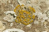 Yellow Scale Lichen, Xanthoria Parietina, Growing On An Old Gravestone. Close Up.