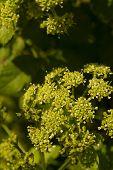 Daucus Carota, Wild Carrot Flower Buds.