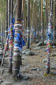 Zalaal - tapes, tied to the trees. Sacred Grove of tears in Arshan resort. Buryatia
