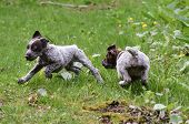 german shorthaired pointer puppies chasing each other in the grass
