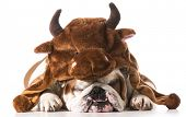 english bulldog wearing bull hat isolated on white background