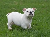 english bulldog puppy playing in the grass - 8 weeks old