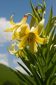 Lily Kesselring (lilium Kesselringianum) Is In The Mountains, North Caucasus, Russia