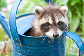 pic of raccoon  - A baby Raccoon trying to hide in the garden - JPG
