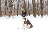 Akita Dog Breed In The Winter With A Scarf
