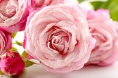 Beautiful pink roses close-up