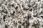 Thuja Occidentalis Winter Background