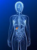 highlighted gallbladder
