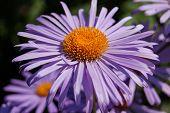 Daisywheel lilac